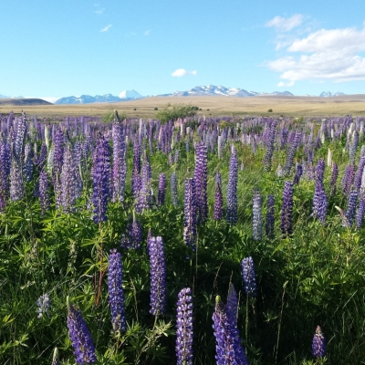 Mt Cook Lupins Medium 9 Days Southern Circle with TranzAlpine Train